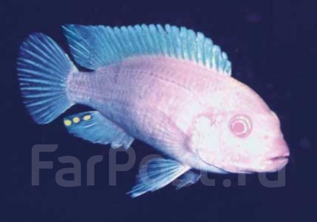фото рыба снежный принц