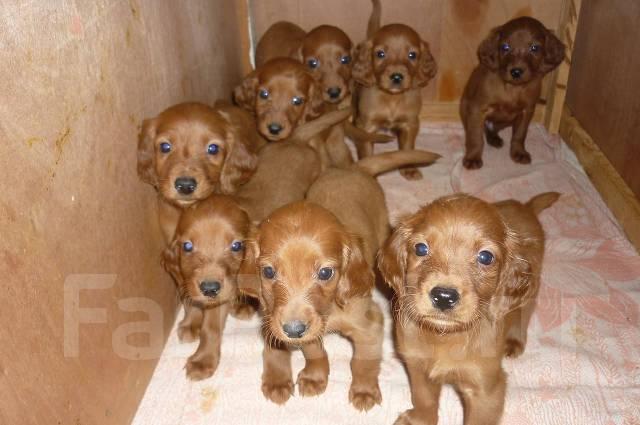фото щенки сеттера