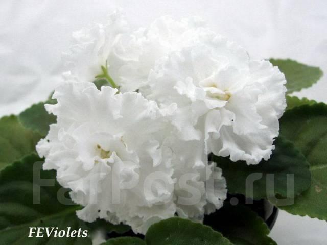 Фиалка (сенполия) Свадебный букет