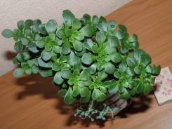 Суккулент: Эониум (аихризон), растения