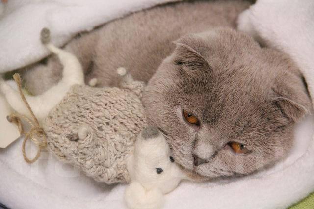 лиловая вислоухая кошка фото
