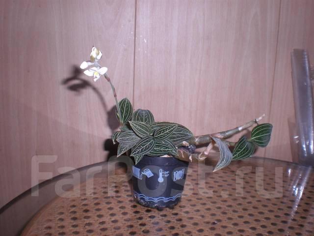 Орхидея драгоценная лудизия