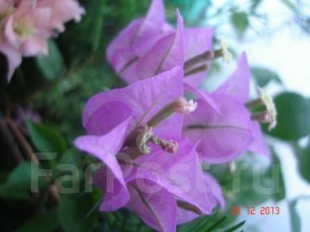 бугенвиллия александра фото