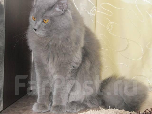 шотландский прямоухий кот фото