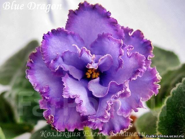 голубой дракон фиалка фото
