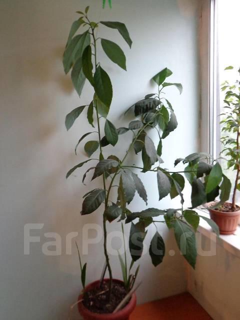 Продам дерево Авокадо для дома или офиса - Растения во ... Авокадо Дерево в Доме