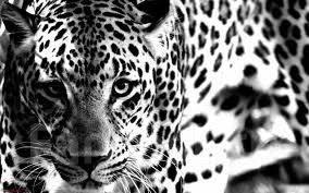 пантера фото белая