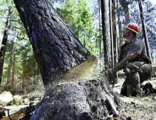 Спилим ваши деревья бесплатно