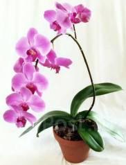 Возьму бесплатно или куплю за сим. плату орхидею в любом состоянии