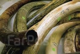 Куплю бивни мамонта во владивостоке