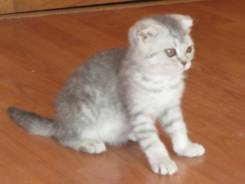 Шотландская вислоухий котёнок (скотиш фолд)мальчик+документы