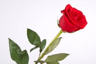 Эквадор. Цветочная компания (плантация по выращиванию роз)