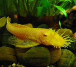 Анциструс альбинос.