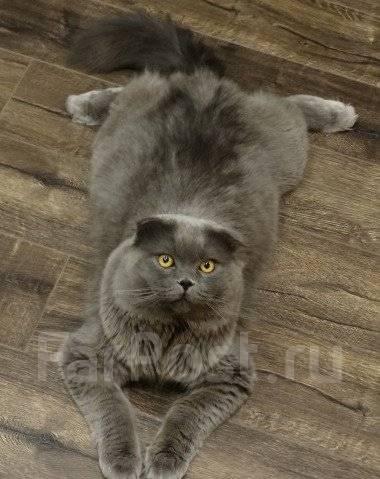 шотландский вислоухий кот фото длинношерстный