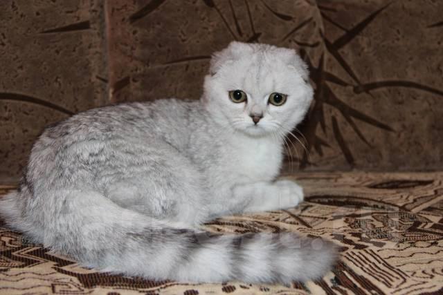 кошка шотландская вислоухая шиншилла фото