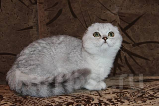 шотландская вислоухая кошка фото серебристая шиншилла