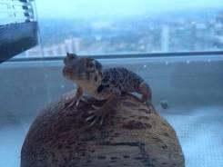 Сцинковый геккон.