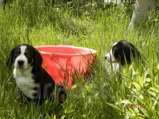 Охранник для частной усадьбы - щенок Гросса