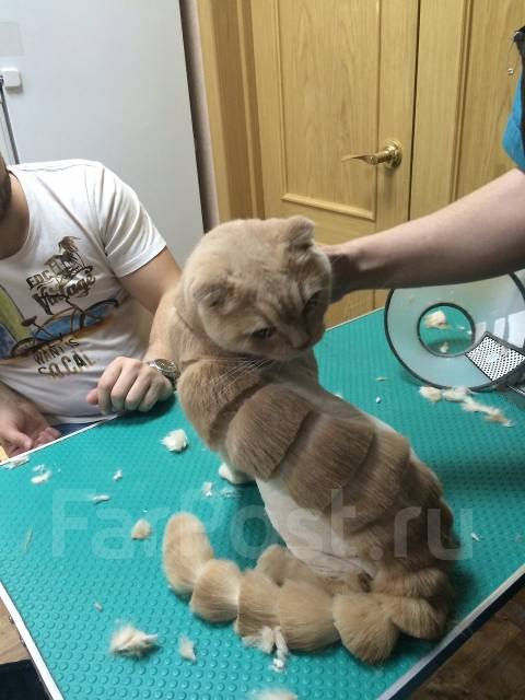 Стрижка кошек, гигиенические процедуры. стрижка 1200 руб.