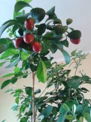Отдам ростки императорского дерева