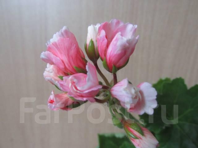 пеларгония мария луиза фото