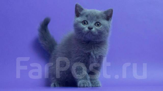 кошка шотландская голубая фото