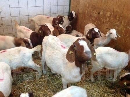 Купить бурскую породу коз с доставкой
