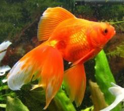 Золотые рыбки.