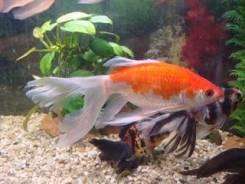 Золотая рыбка Комета.