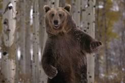 Куплю медвежью желчь, лапы
