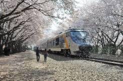 Япония. Токио. Экскурсионный тур. Сакура: цветущие парки Токио, Камакуры и Йокогамы