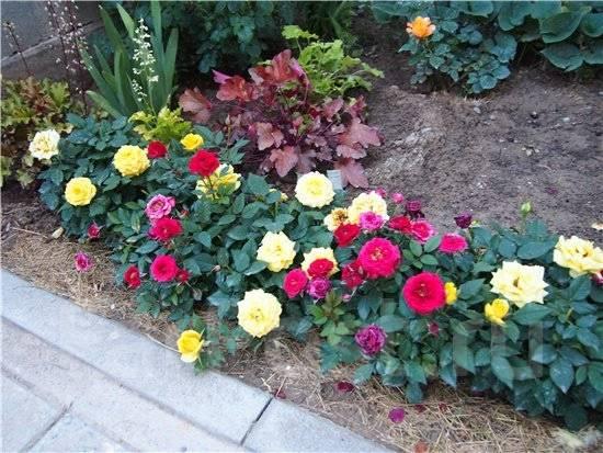 Розы, цветущие весь сезон – описания лучших сортов (21 фото.