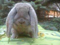 Кролики Французский баран. окрасы Изабелла, голубой, Мадагаскар, желтый,. Под заказ