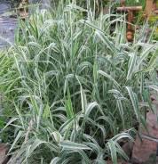 Пампасная трава. Под заказ
