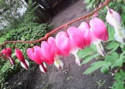 """Цветы Разбитое сердце"""""""