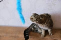 Шотландская вислоухая короткошерстная кошка.
