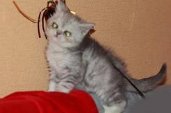Серебристые шотландцы котик и кошечка