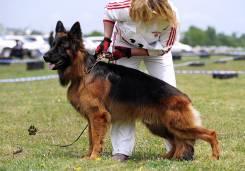 Немецкая овчарка.