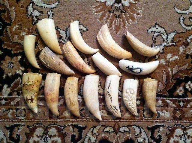 фото зуб кашалота