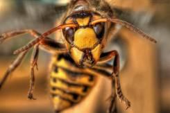 Уничтожение Шершней! Истребление! Шершни, Осы, Пчелы, тараканы.