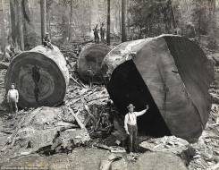 Бревно кругляк диаметр от 40 см
