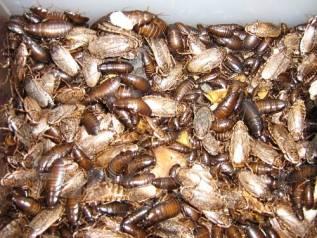Кормовые насекомые.