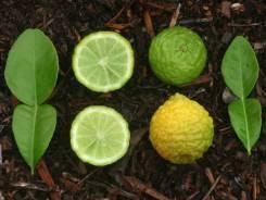 Листья растения кафир-лайма