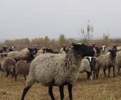 Бараны, овцы.