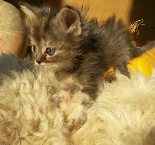 Котенок -Трехцветный приносит в дом счастье и достаток!