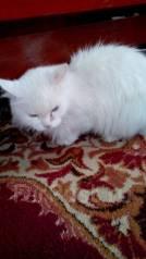 Ангорская кошка.