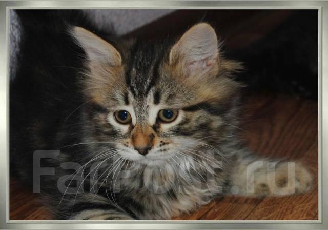 Сибирская кошка. Под заказ