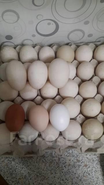 Яйцо утиное.