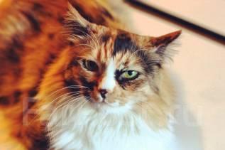 Сибирская кошка.