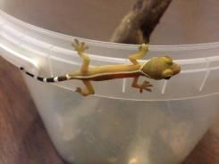 Полосатый дневной геккон.